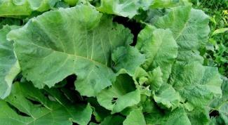 Лечебные свойства листьев лопуха