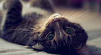 Что делать, когда у кошки течка