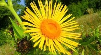 Девясил-трава: целебные свойства растения