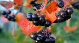 Какова польза черноплодной рябины
