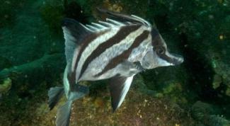 Как выглядит Рыба-кабан