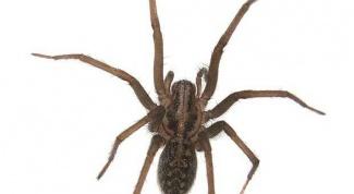 Чем питается домовой паук