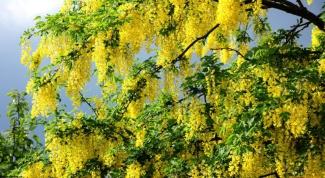When acacia blooms