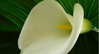 Почему желтеют листья у каллы