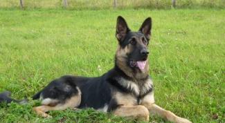 How to train Eastern European shepherd