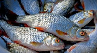Как выглядит рыба плотва