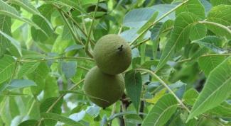 Как приготовить настойку из маньчжурского ореха