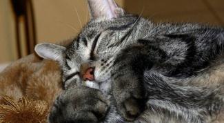 Блошиный дерматит у кошек: симптомы, лечение
