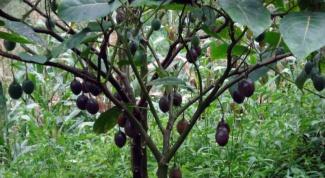 Черный орех - полезное растение из Северной Америки