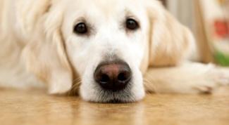 Как передается энтерит у собак
