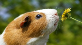 Is it true that Guinea pigs are afraid of drafts
