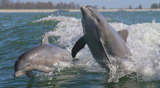Завораживающее зрелище из мира природы - игры дельфинов