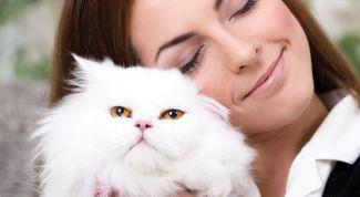 Персидские кошки - пушистые хранители домашнего очага