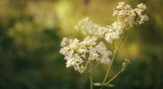 Белоголовник: полезные свойства, противопоказания