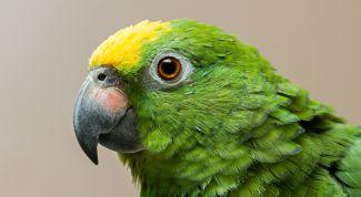 Декоративные птицы: попугай амазон. Особенности содержания птицы