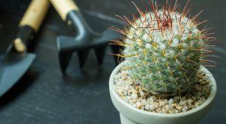 Как правильно пересаживать кактус?