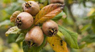 Мушмула германская. Чем полезны ее плоды?