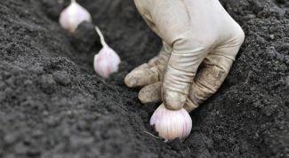 Правила посадки чеснока весной