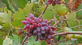 Виноград «Оригинал»: особенности сорта