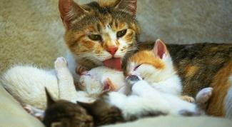Стоит ли приглашать ветеринара на роды кошки