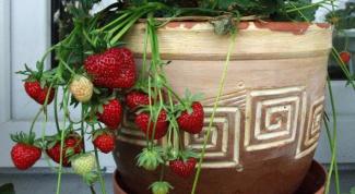 Можно ли вырастить землянику на балконе