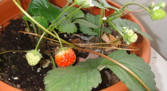 Как вырастить клубнику на подоконнике или балконе