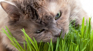 Grass for cats - how to grow house