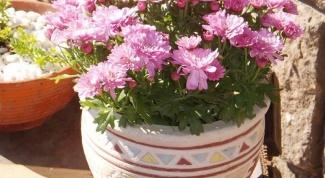 Как вырастить хризантему из букета дома