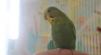 Что необходимо знать, если у вас дома живет попугай
