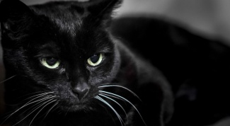 Black cat: omens and superstitions