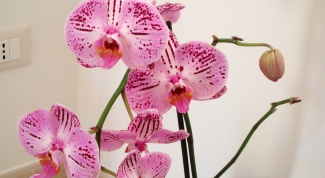 How to care for orchids in a pot at home