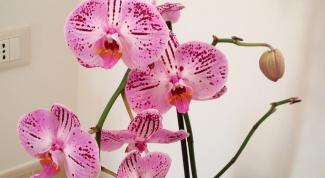 Как ухаживать за орхидеями в горшке в домашних условиях