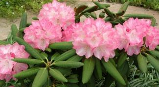 Рододендроны: что нужно для обильного цветения
