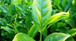 Какой чай называют неферментированным?