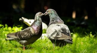 Народные приметы и суеверия о голубях