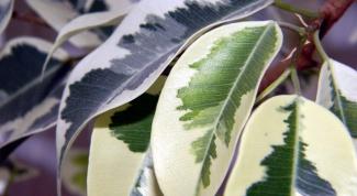 Почему фикус сбрасывает листья