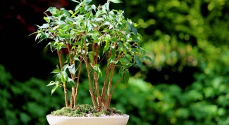 Ficus benjamina: care at home