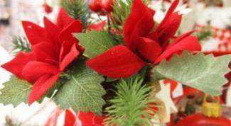 Пуансетия - рождественский цветок