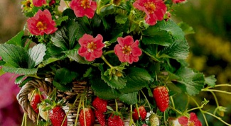 How to care for strawberries in pots