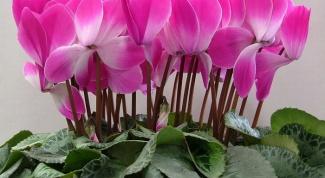 Как добиться ежегодного цветения цикламена