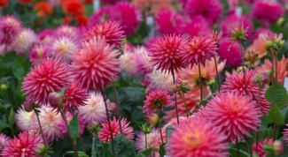 How to make money on the vase life of Dahlia