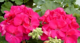 Why do geranium dry leaves