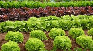 Как получить ранний урожай салата в открытом грунте
