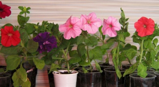 Why is dying seedling petunias