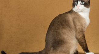 Кошки сноу-шу: особенности породы