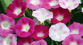 Цветы для вертикального озеленения – однолетние и многолетние