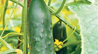 Лучшие сорта недорогих высокоурожайных огурцов F1