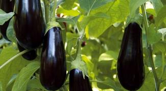 Секреты отменного урожая баклажанов: сроки посадки, формирование растений