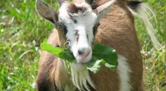 Как составить рацион козы