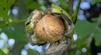 Грецкие орехи: польза